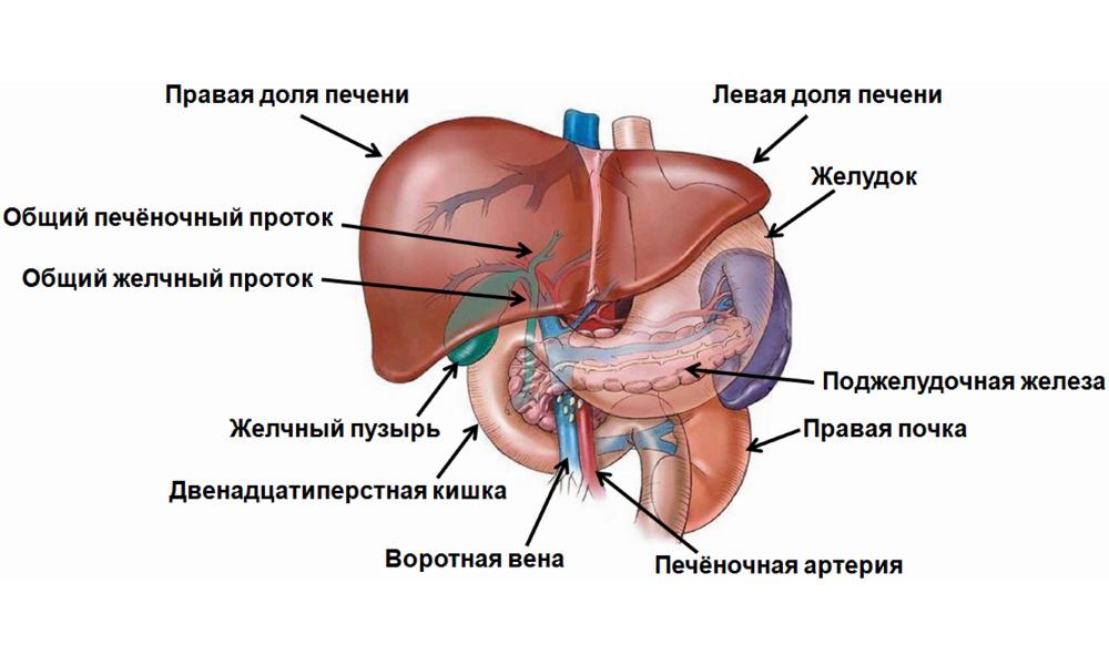 Лечение при заболевании желчного пузыря и поджелудочной железы