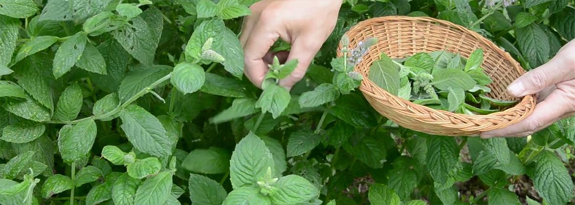 Травы, противопоказанные при беременности. противопоказанные травы при беременности