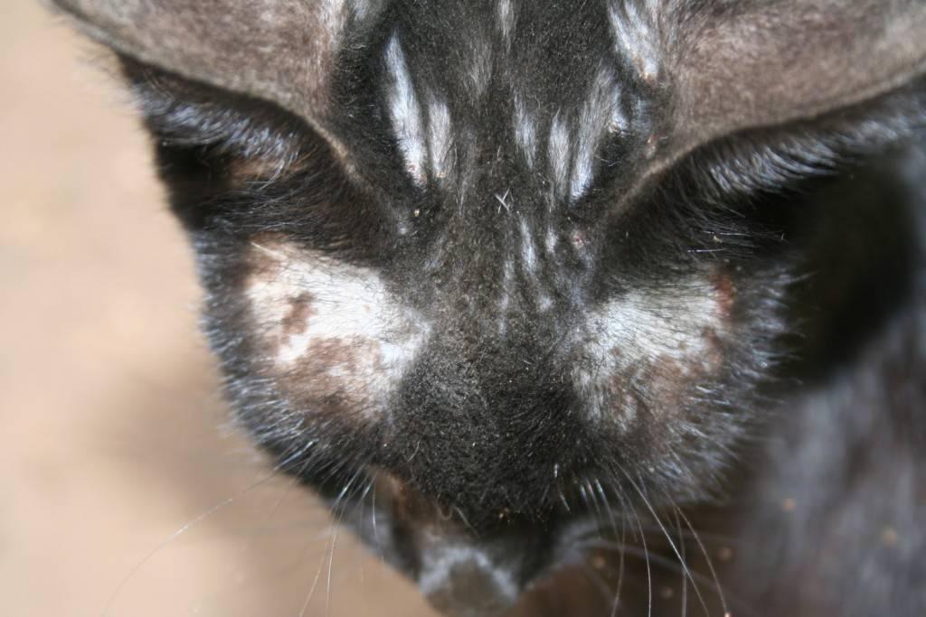 Картинки лишай у кошки в домашних условиях