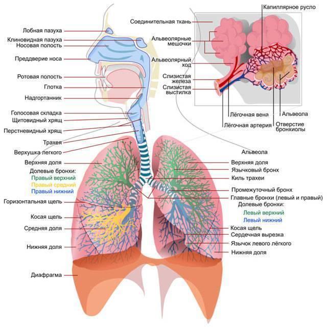 Сроки восстановления организма после перенесенной пневмонии