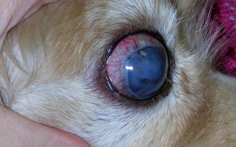 Глаукома у кошек