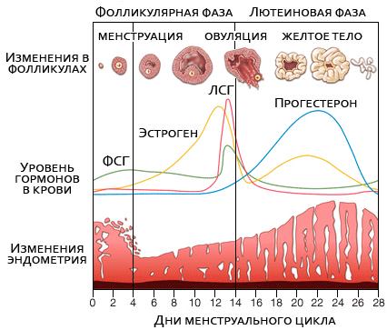Маточные кровотечения - причины и симптомы, как остановить. дицинон при маточных кровотечениях