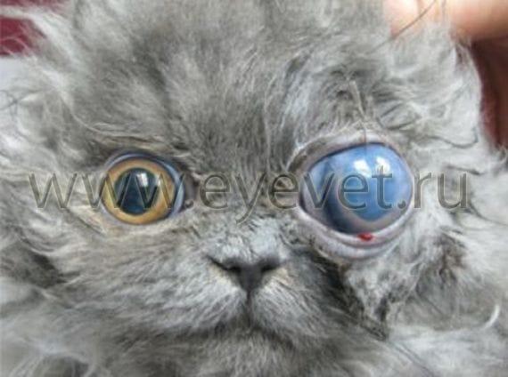Чем опасна глаукома у кошки?
