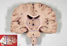 Таламус — это отдел мозга: структура, функции, за что отвечает