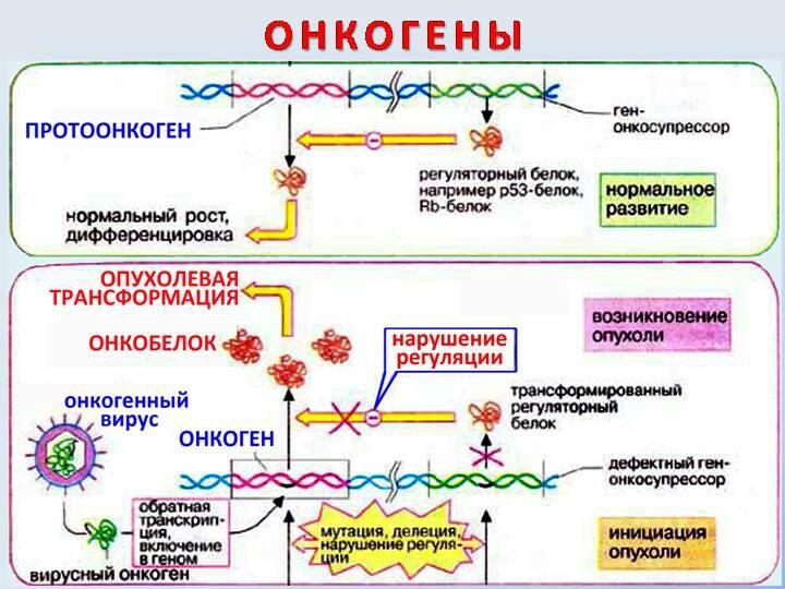 Онкогены, протоонкогены и гены- супрессоры опухолей - онкогенез - биохимия учебник для вузов - е. с. северина - 2004