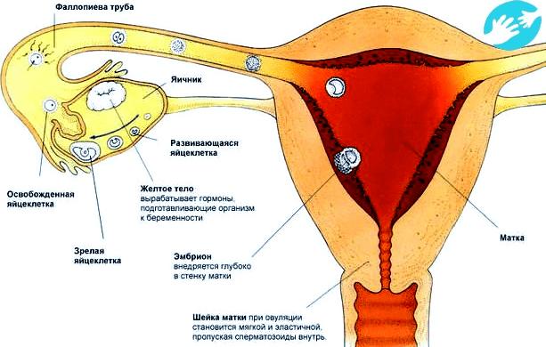 Контрацептивы нового поколения: инструкция по применению новинета