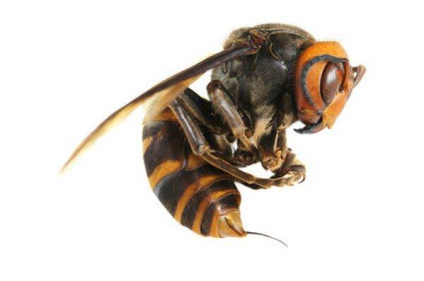 Пчелиный яд: его состав, действие и способы применения