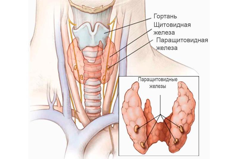 Виды зоба щитовидной железы