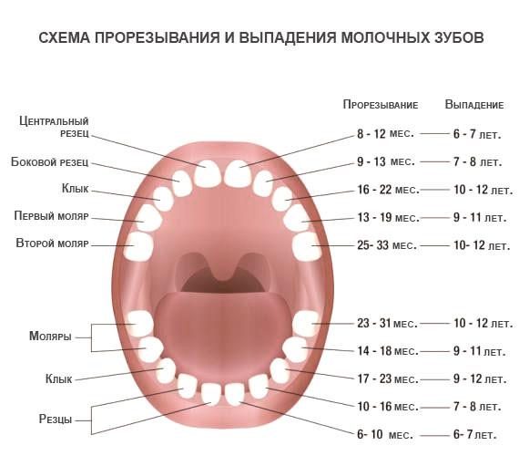 Прорезывание зубов у детей порядок и сроки