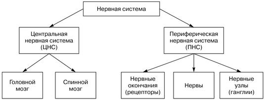 Периферическая нервная система: виды заболеваний, описание