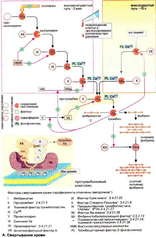 Тромбоцитопоэз. регуляция тромбоцитопоэза. тромбопоэтин ( тромбоцитопоэтин ). мегакариоциты. тромбоцитопения.