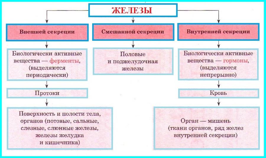 Эндокринная система - вики