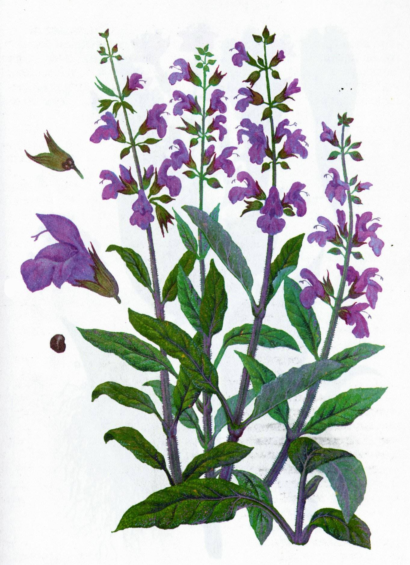 Шалфей - лечебные свойства и противопоказания травы