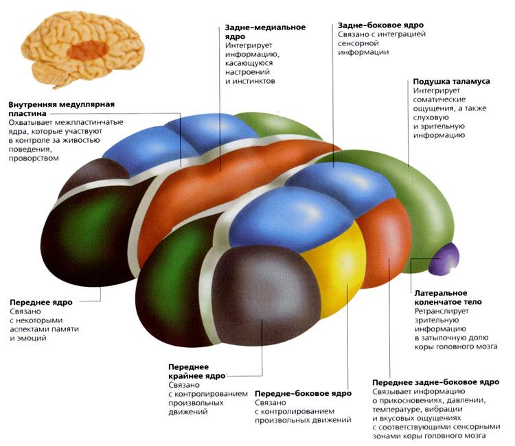 Таламус мозга. функции и ядра таламуса