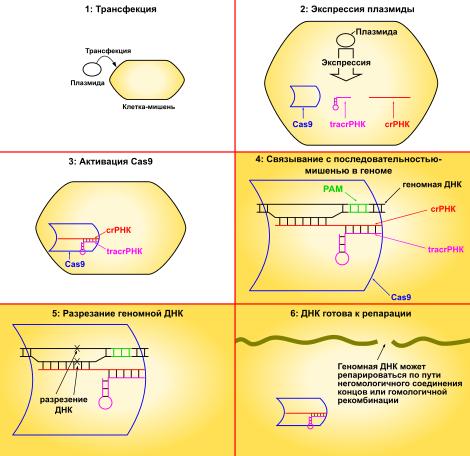 Генная инженерия в борьбе с гемофилией | витапортал - здоровье и медицина
