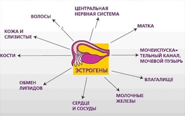Выработка женских и мужских гормонов половыми железами