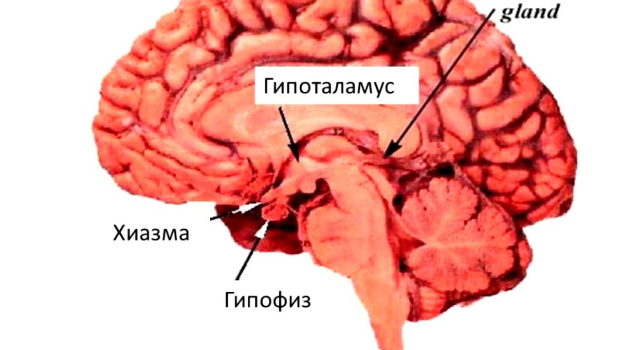 """Презентация на тему: """"гипофиз мозговой придаток в форме округлого образования, расположенного на нижней поверхности головного мозга в костном кармане, называемом турецким седлом,"""". скачать бесплатно и без регистрации."""