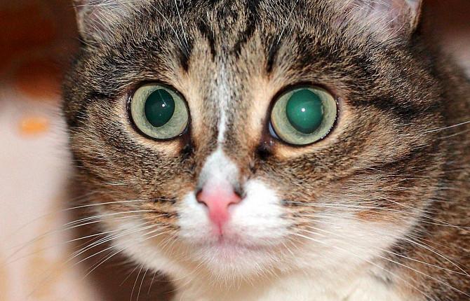 Каковы симптомы глаукомы у кошек?