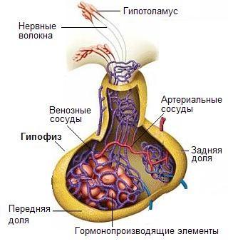 Основные гормоны долей гипофиза