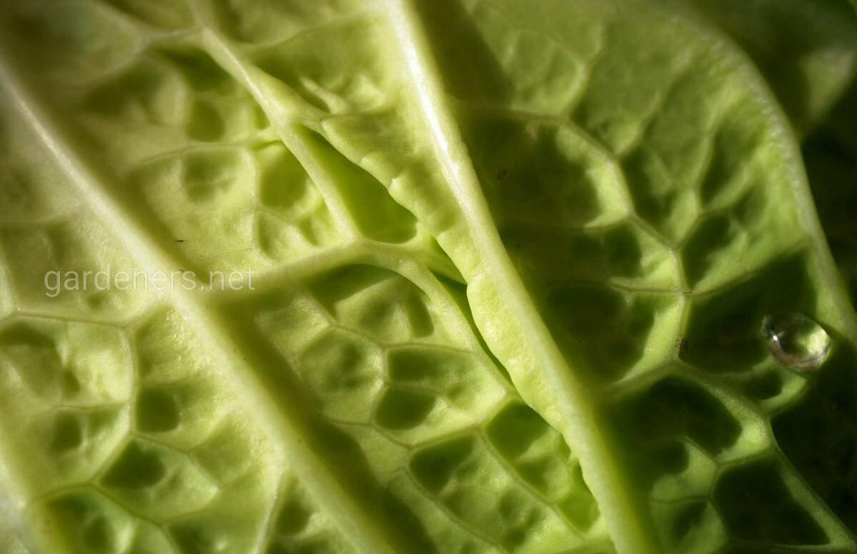Лечение капустным листом кашля у детей