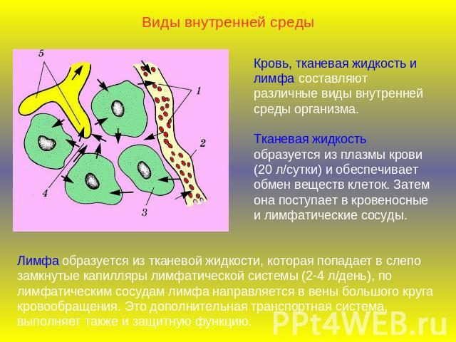 Лимфа лимфа - представляет собой прозрачную бесцветную жидкость, в которой нет эритроцитов и тромбоцитов, но много лимфоцитов. - презентация