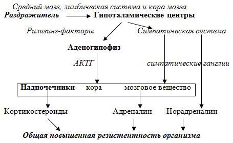 Роль кортизола в жизнедеятельности человека