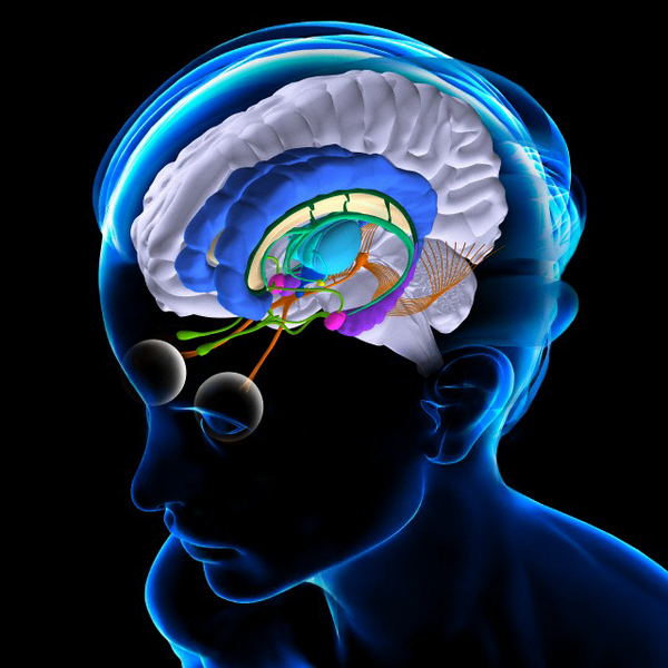 Головной мозг: мозжечок, таламус, большой мозг