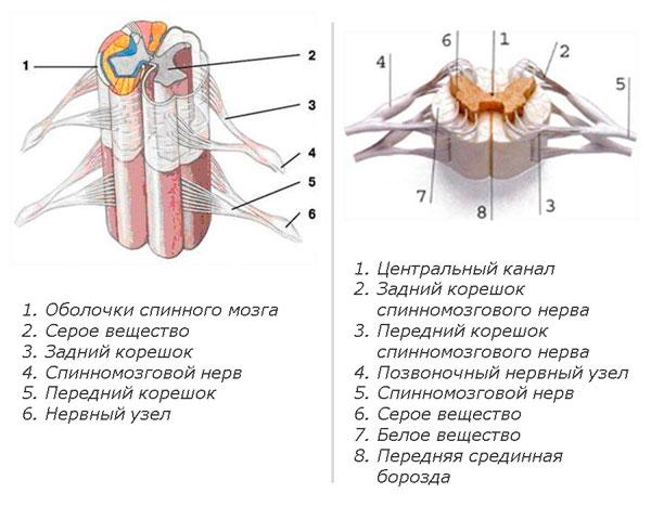 Строение спинного мозга человека с картинками