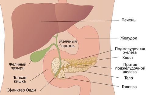 Глюкагон: что это за гормон, где содержится, как вырабатывается