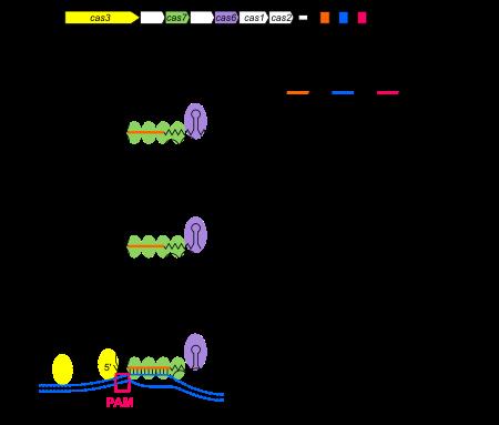 Инженерия человеческого зародышевой - human germline engineering - qwe.wiki