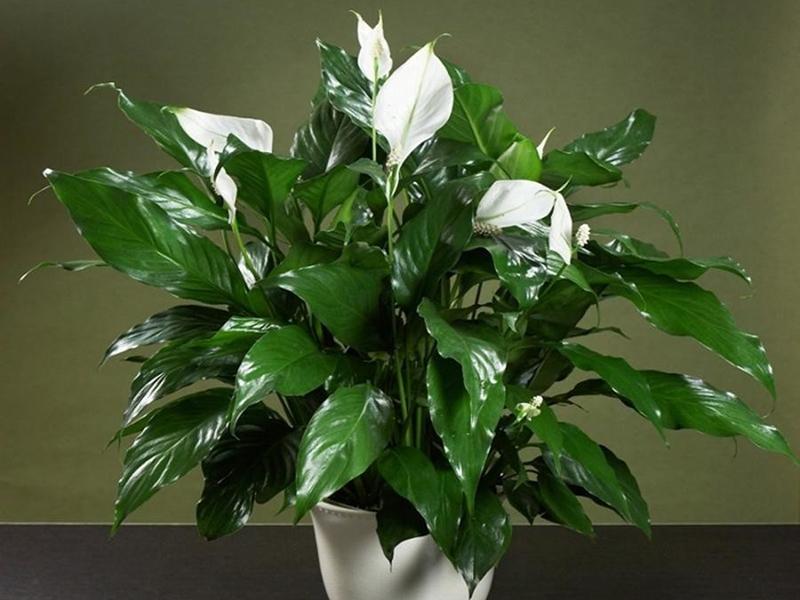 Растения, очищающие воздух в квартире: какие из них более эффективны