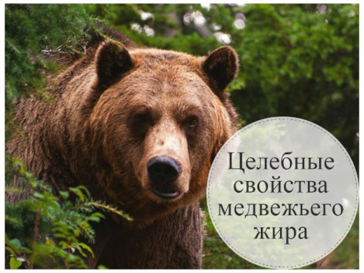 Какая польза от медвежьего жира. какой жир лучше: медвежий или барсучий. старинный рецепт топления от охотников