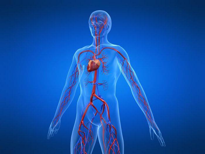 Картинки по кровеносной системе