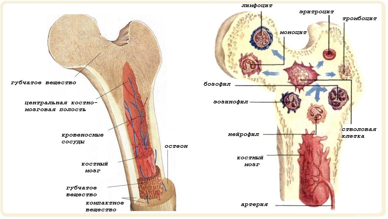 Костный мозг человека — википедия. что такое костный мозг человека