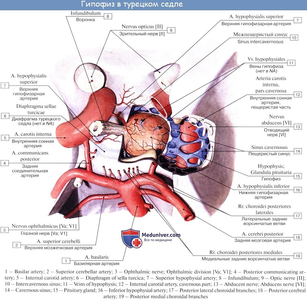 Турецкое седло и параселлярная область: систематизирован анатомический подход к дифференциальной диагностике селлярных и параселлярных образований