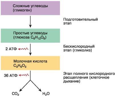 Метаболизм 2 цели урока: 1.формирование общих представлений о клеточном метаболизме и его биологическом значении. 2.развитие навыков самостоятельной работы. - презентация