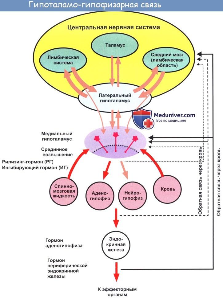 Гипофиз головного мозга, его доли, работа и функции
