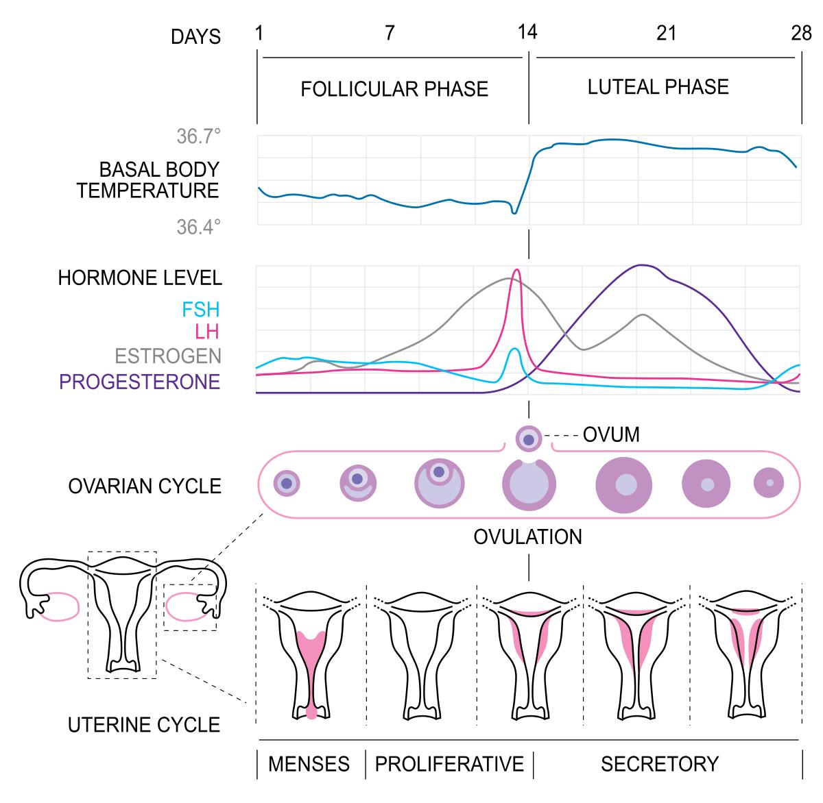 Признаки обильности менструации и ее нормализация