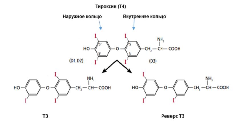 Гормоны щитовидной железы ( t3, t4, кальцитонин) : их образование, транспорт, метаболизм и регуляция через ттг. йод в организме человека