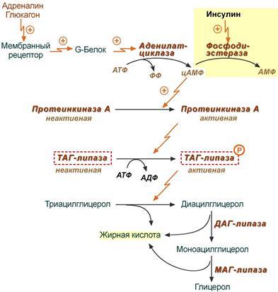 - ресинтез липидов - биохимия