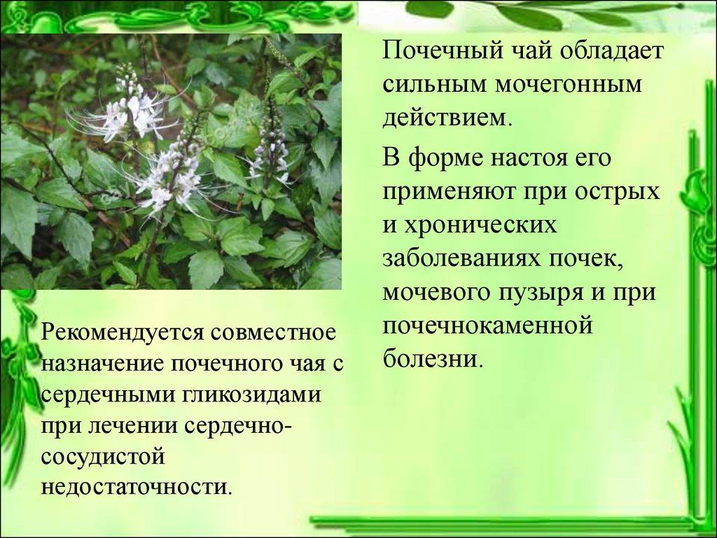 Почечный чай ортосифон тычиночный отзывы