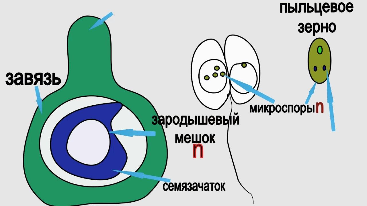 9 этапов оплодотворения яйцеклетки