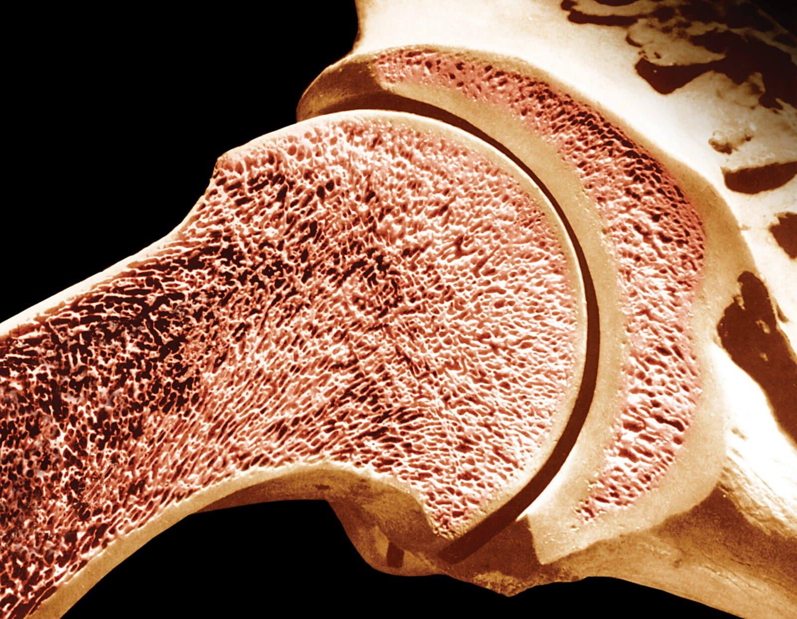 Анатомия красного костного мозга человека – информация: