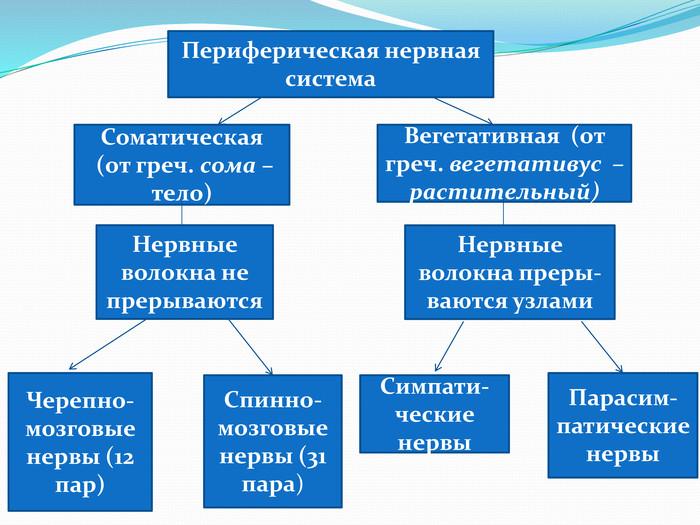 Периферическая нервная система - peripheral nervous system