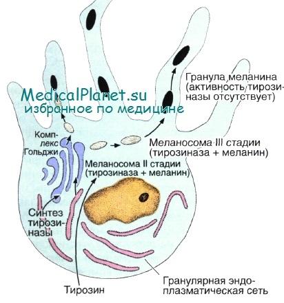Причины и симптомы нехватки меланина и как его восстановить