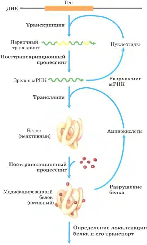 Экспрессия генов — википедия с видео // wiki 2