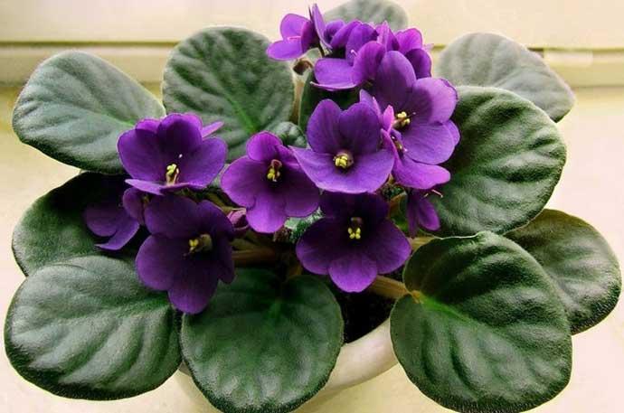 Раствор марганцовки для комнатных растений.