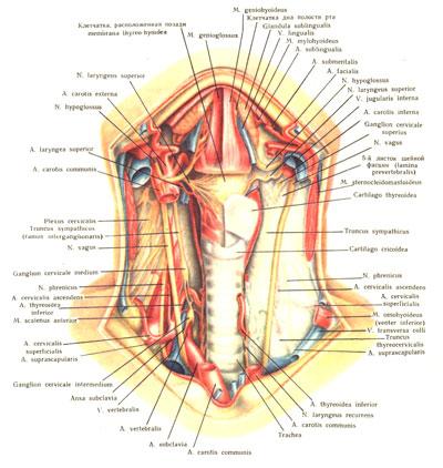 Особенности строения человеческой щитовидки
