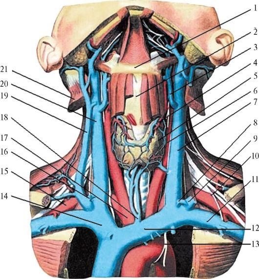 Её величество щитовидка. главная железа эндокринной системы