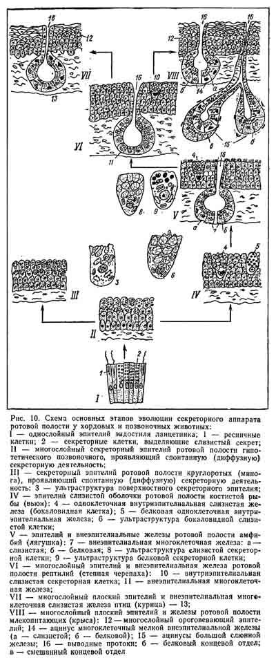 Слюна человека: состав, функции, ферменты